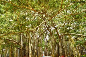 big-banyan-tree-forest-nature-bangalore-india-travel-potography